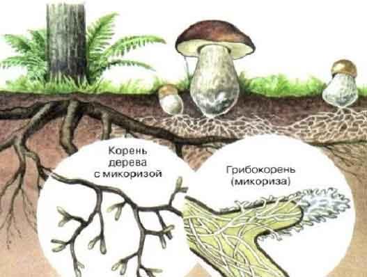 Грибы. Одноклеточные, плесневые, шляпочные грибы. Грибы-паразиты.